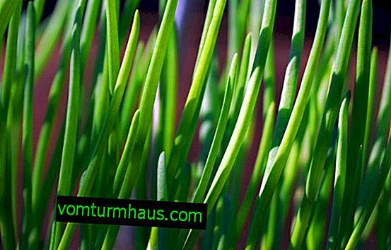 Jak připravit a uchovat zelené cibule na zimu?