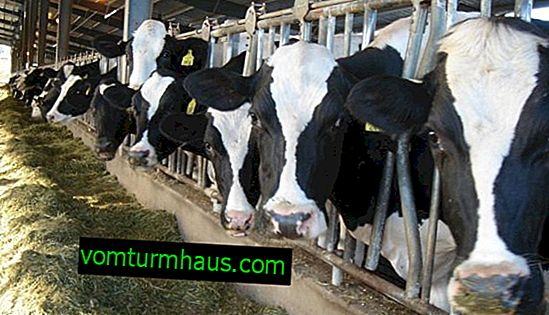 Holstein cows: description, care and feeding