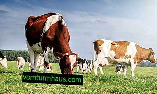 Bir ineğin neden boynuzlara ihtiyacı vardır, yaralanma durumunda ne yapılmalı ve ineklerin uygun şekilde dezenfekte edilmesi