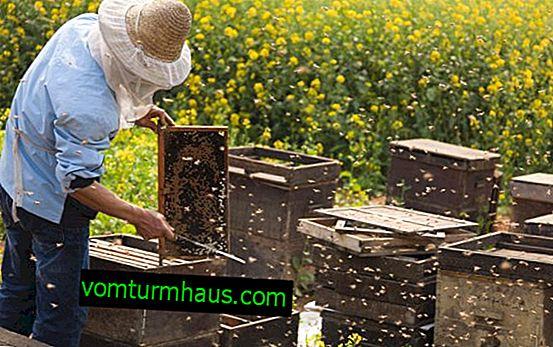 Wszystko o pszczelarstwie dla początkujących: od czego zacząć przyszły pszczelarz