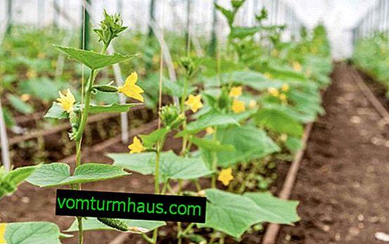 Cómo y con qué frecuencia regar los pepinos en un invernadero