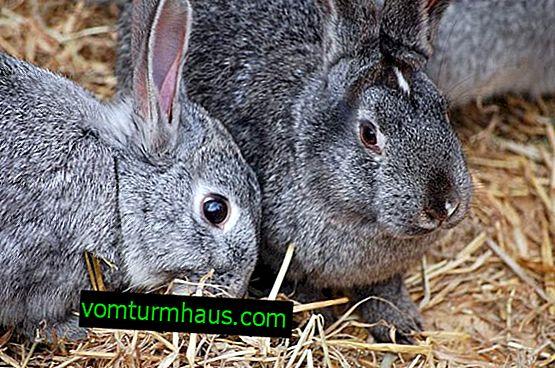 Nourrir les lapins avec du grain