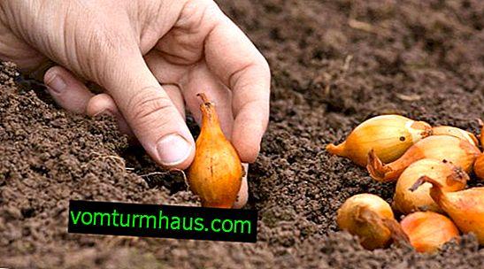 Vlastnosti sadby cibule sad na podzim před zimou