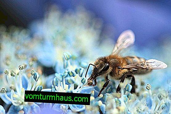 Какво ядат медоносните пчели в природата?