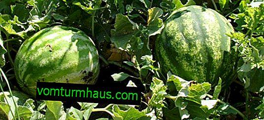 Fodring vandmeloner: metoder og regler