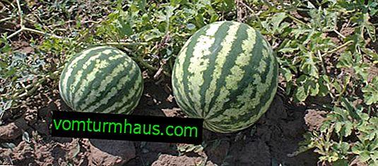 Sådan plantes en vandmelon derhjemme