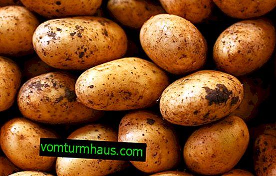 Beschreibung der besten Kartoffelsorten für den Anbau in Sibirien