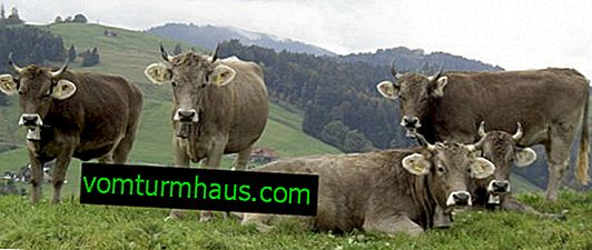 Cow of the Swiss breed: description, care and feeding