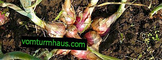 Familieløg: plantning af frø og såning før vinteren