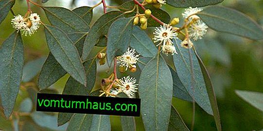 Eukalyptový med, hlavné vlastnosti a vlastnosti