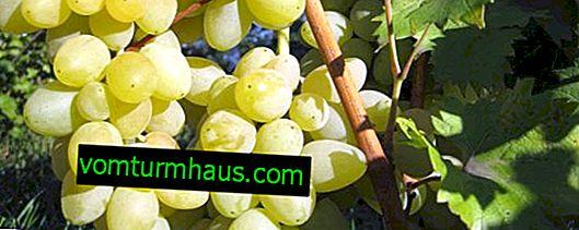 Мусатово лятно грозде: описание и техника за отглеждане на отглеждане