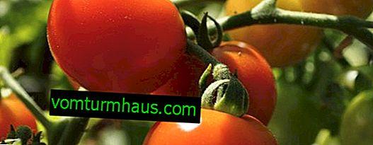 Paradižnik Nepas: opis, kmetijska gojenje