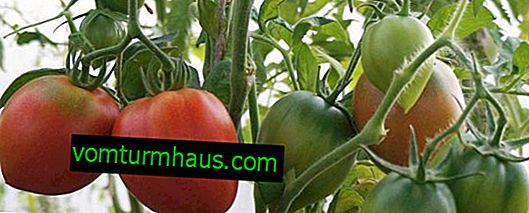 Tomater Strawberry tree: beskrivning, funktioner för att växa hemma och i fönsterbrädan