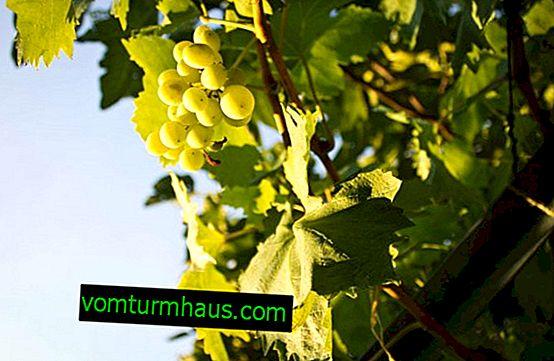 Hur ta hand om druvor på våren och fixa problem efter vintern?