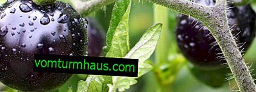 Tomato Indigo Rose: Beschreibung und Merkmale der Sorte, Pflege und Anbau