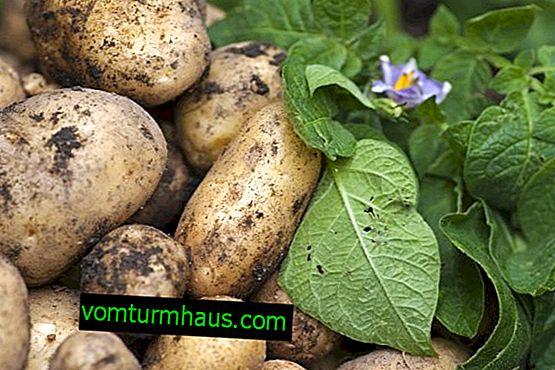 Pravljica o krompirju: značilnosti in značilnosti gojenja sort