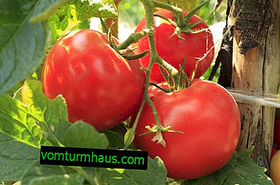 Variety of tomato Rosemary F1: description, planting, features of cultivation and care