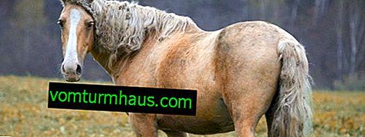 Funktioner av hästrasen Bashkir
