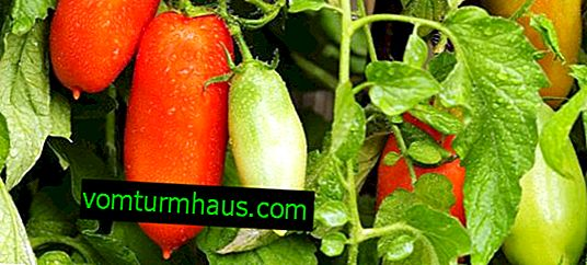 Tomat Peter den store F1: beskrivelse og karakteristika for sorten, pleje og dyrkning
