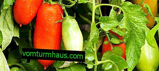 Tomato Peter the Great F1: opis a charakteristika odrody, starostlivosti a pestovania