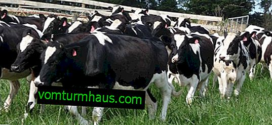 How to treat mastitis in a cow