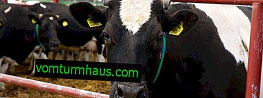 Klamidija pri govedu: simptomi in zdravljenje