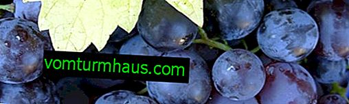 Grape variety Muscat Hamburg