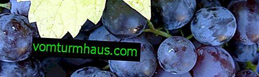 Grape variety Muscat Hamburg