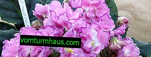 Violet Darling: značajke uzgoja i brige kod kuće