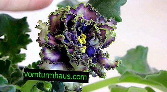 Značilnosti gojenja vijolic Vodiannaya