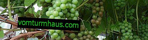 Funktioner i Supaga-druvsorten
