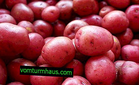 Kartoffel Red Sonya: Beschreibung und Merkmale der Sorte