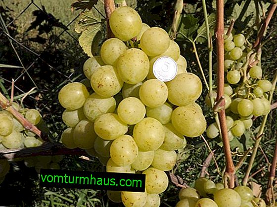 Сорт грозде Smaragd: характеристики, тайни на успешното отглеждане