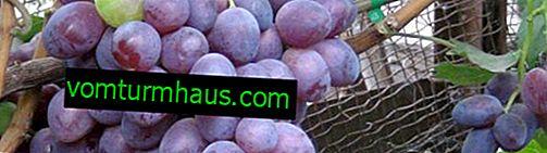 Características de la variedad de uva Voevoda