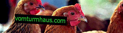 อาการและการรักษาโรคนิวคาสเซิลในไก่