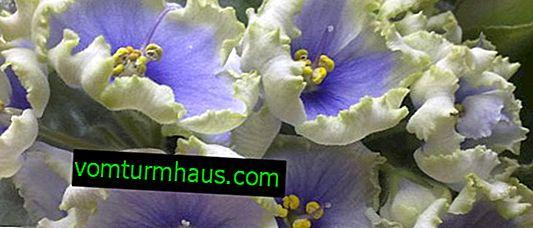 Виолетова Наутилус: отглеждане и грижа у дома