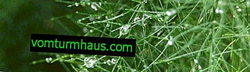 Sierp szparagi: cechy opieki domowej