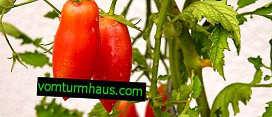 Tomato stilig F1: beskrivning, funktioner av växande sorter