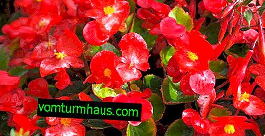 Rød begonia: voksende og omsorgsfuld derhjemme