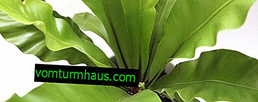 Anidación de Asplenium: descripción y cultivo de una planta de interior