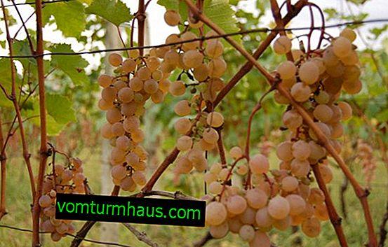 Характеристики на сорта грозде Rkatsiteli