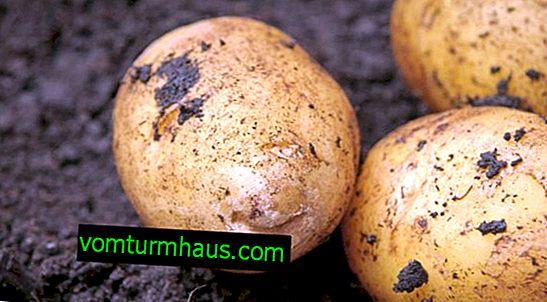 Description de la variété de pommes de terre en Arizona