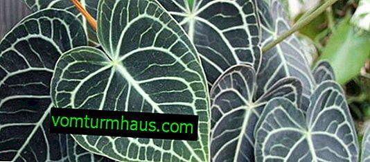 Anthurium krystal: hjemmepleje
