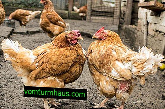 Wie man einen Hühnerstall baut