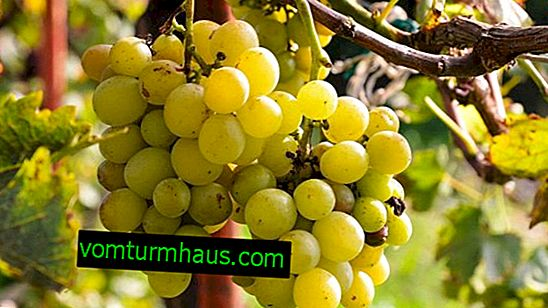 Varieties of grapes Krasokhina: description, agricultural cultivation