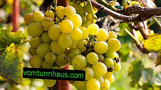 Varieties of grapes Krasokhina: description, agricultural cultivation