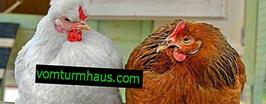 How old are domestic hens?