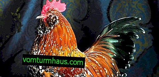 Značilnosti hranjenja kokoši Milfleur