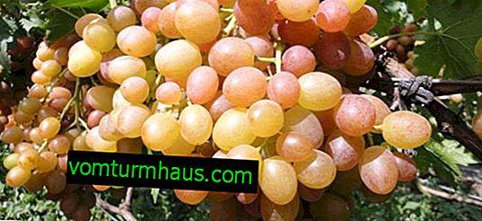 Caratteristiche uva camaleonte