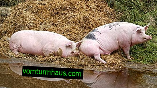 Segni di caccia sessuale e caratteristiche del processo di accoppiamento dei maiali